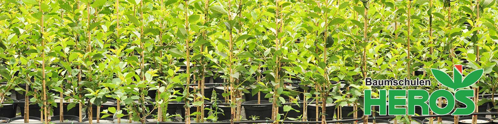 pfirsichfarbene rosen kaufen