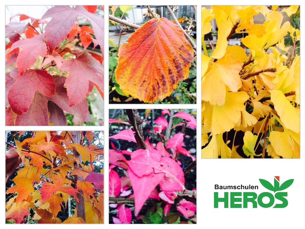 Auch im Herbst erstrahlen die Gehölze in unserem Pflanzenmarkt.