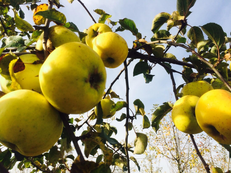 leuchtend gelbe Früchte die auch schmecken